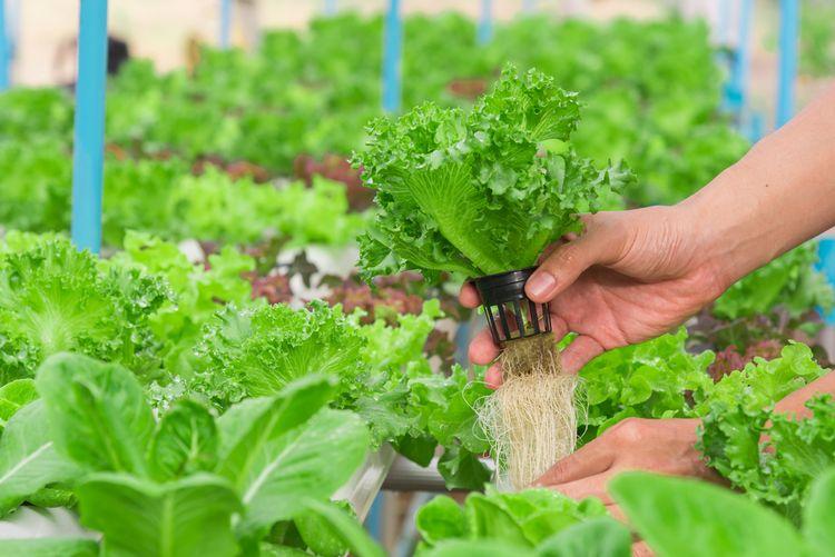 Pěstování salátu v hydroponii