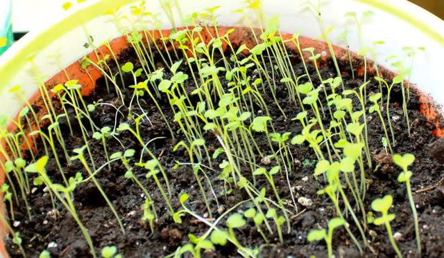 Pestovanie rukoly v kvetináči