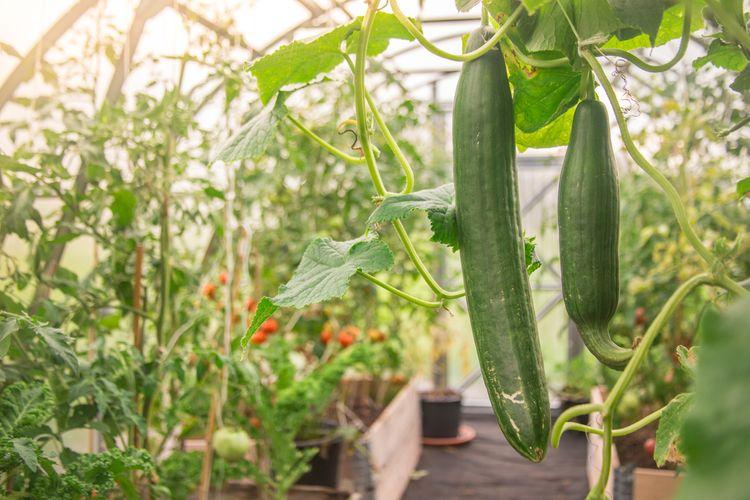 Uhorky pestované v skleníku vedľa paradajok