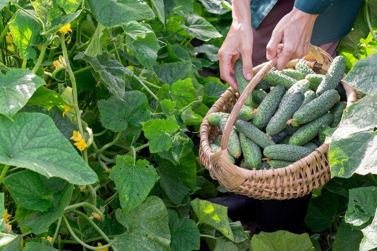Kedy zbierať uhorky?