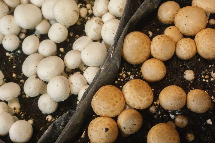 52c4a644c Ako pestovať huby doma v kvetináči, na dreve, na záhrade a v pivnici ...