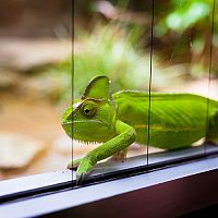 Ako zariadiť terárium pre chameleóna? Zariadenie pre začiatočníkov