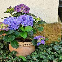 Ako pestovať hortenziu a kedy bude kvitnúť na modro?