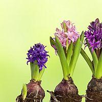 Hyacint - ako pestovať v kvetináči aj po odkvitnutí. Rozmnožovanie je jednoduché