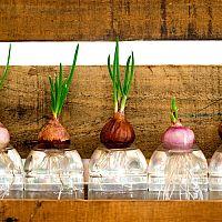 Hydropónia: aké výhody má toto pestovanie? Aké pomôcky potreba?