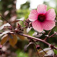 Ibištek - presádzanie, rozmnožovanie, strihanie a hnojenie