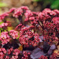 Rozchodník ako nenáročná ozdoba vašej záhrady