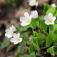 Kyslička - pestovanie rastliny, ktorá má liečivé účinky