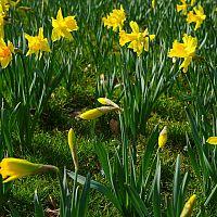 Narcisy - kedy sadiť a ako pestovať aj v kvetináči