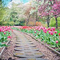 Ako pestovať tulipány v záhrade aj kvetináči