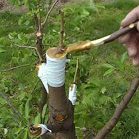 Štepenie ovocných stromov - očkovanie, vrúbľovanie, plátkovanie