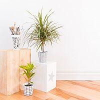 Dracena – pestovanie, rozmnožovanie, starostlivosť a choroby