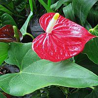 Antúria – rozmnožovanie, polievanie a hnojenie