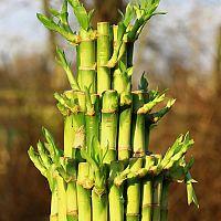 Ako pestovať bambus šťastia