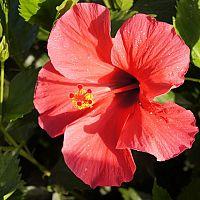 Ako pestovať a rozmnožovať čínsku ružu