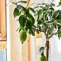 Ako pestovať citrónovník?