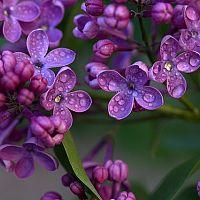 Ako pestovať okrasný orgován?