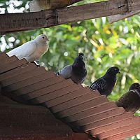 Ako sa zbaviť holubov na streche a na balkóne
