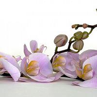Ako pestovať orchideu