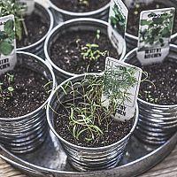 Ako pestovať bylinky v kvetináči