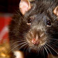 Ako sa zbaviť potkanov? Pomôžu pasce aj deratizácia