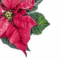 Vianočná ruža – pestovanie, kvitnutie, rozmnožovanie, starostlivosť