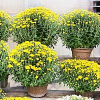 Pestovanie chryzantémy. Ako rozmnožovať, polievať a presádzať