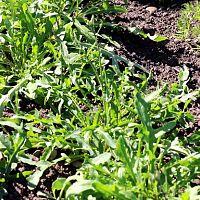 Pestovanie rukoly v záhrade