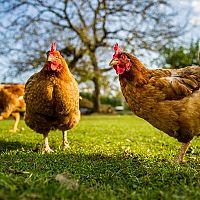Chov hydiny a iných zvierat – aká je legislatíva?