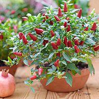 Pestovanie chilli papričiek v kvetináči v byte, dome, v záhrade