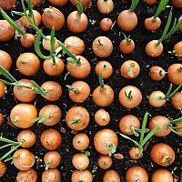Morenie cesnaku, cibule, sadbových zemiakov a iných semien