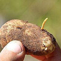 Ako sa zbaviť háďatka zemiakového? Prípravky proti drôtovcom, ktoré fungujú