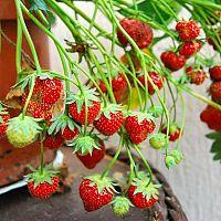 Ako pestovať jahody na balkóne a akú odrodu zvoliť? Obľúbené sú mesačné jahody