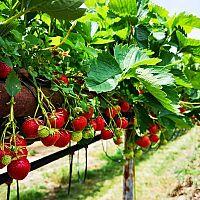 Ako pestovať jahody v záhrade, kvetináči a paletách