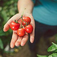Pestovanie paradajok – sadenie, polievanie, choroby a škodcovia