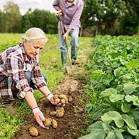 Ako pestovať a hnojiť zemiaky? Sadenie zemiakov, zavlažovanie