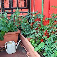 Ako vypestovať paradajky na balkóne