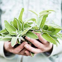Šalvia lekárska – pestovanie v byte v kvetináči, zber, druhy