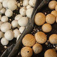 Ako pestovať huby doma v kvetináči, na dreve, na záhrade a v pivnici