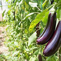 Baklažán – sadenie a pestovanie zo semena aj v kvetináči