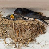 Ako odplašiť lastovičky a zabrániť im stavať hniezda. Hroty proti lastovičkám ako najlepšie zábrany