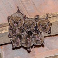 Ako sa zbaviť netopierov v dome, komore či na balkóne?