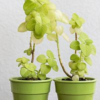 Nádchovník – pestovanie, rozmnožovanie, použitie, účinky