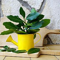 Bobkový list – pestovanie. Kedy strihať vavrín? Čerstvý a drvený bobkový list proti hmyzu, pod vankúš