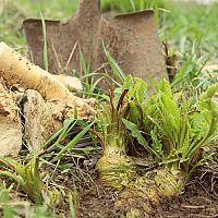 Ako pestovať chren? Vysádzanie, starostlivosť, zber, uskladnenie