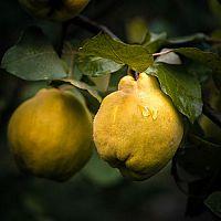 Ako pestovať dulu? Pestovanie, využitie, rozmnožovanie, zber, choroby