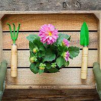 Dálie (georgíny) – pestovanie zo semena v kvetináči aj v záhrade. Hnojenie, zaštipovanie