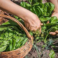 Ako pestovať špenát v zime, na jar, na jeseň v kvetináči a záhrade?
