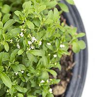 Ako si doma pestovať stéviu? Pestovanie zo semien je možné aj v kvetináči