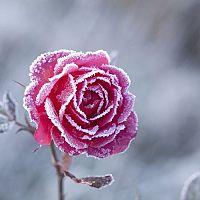 Postup, ako zazimovať ťahavé/popínavé, stromčekové a ruže v kvetináči